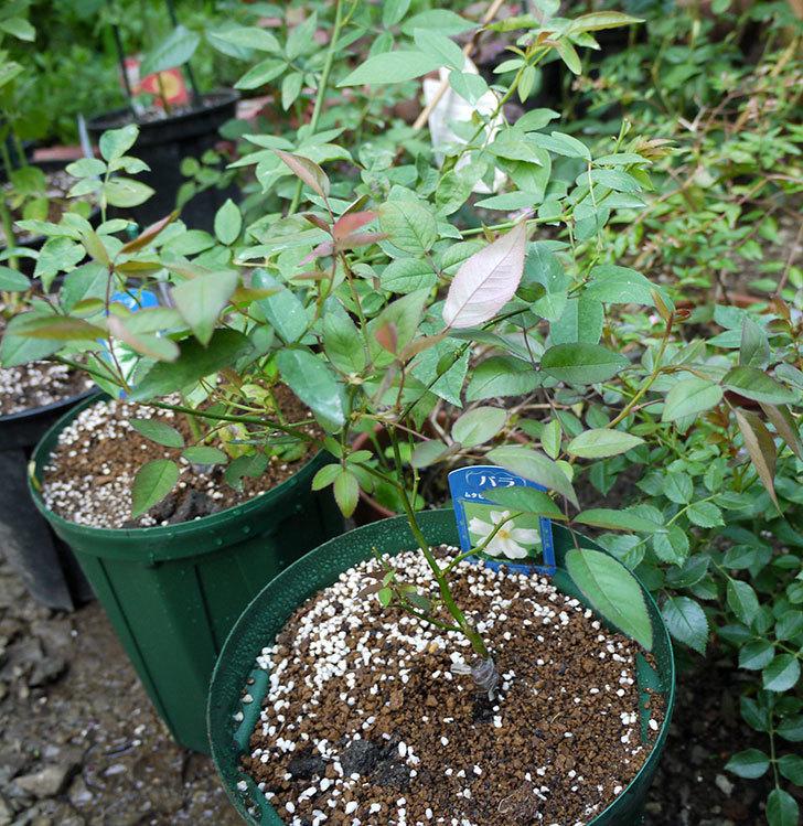 ムタビリス(木立バラ)の新苗を7号ロングスリット鉢に鉢増しした。2016年-6.jpg