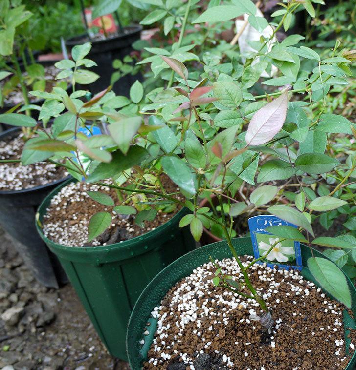ムタビリス(木立バラ)の新苗を7号ロングスリット鉢に鉢増しした。2016年-7.jpg