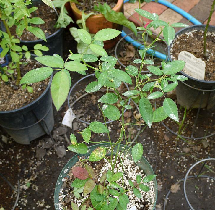 ムタビリス(木立バラ)の新苗を夏剪定した。2016年-1.jpg