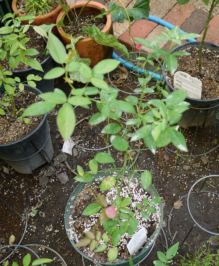ムタビリス(木立バラ)の新苗を夏剪定した。2016年-2.jpg