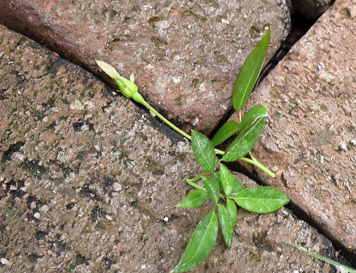 ムタビリス(木立バラ)の新苗を夏剪定した。2016年-3.jpg