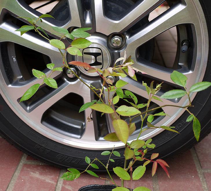 ムタビリス(木立バラ)の新苗買って来た。2016年-1.jpg