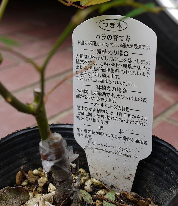 ムタビリス(木立バラ)の新苗買って来た。2016年-4.jpg