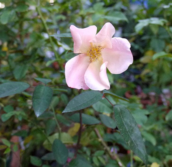 ムタビリス(木立バラ)の秋花が咲いた。2016年-6.jpg