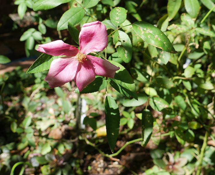 ムタビリス(木立バラ)の秋花が咲いた。2018年-1.jpg