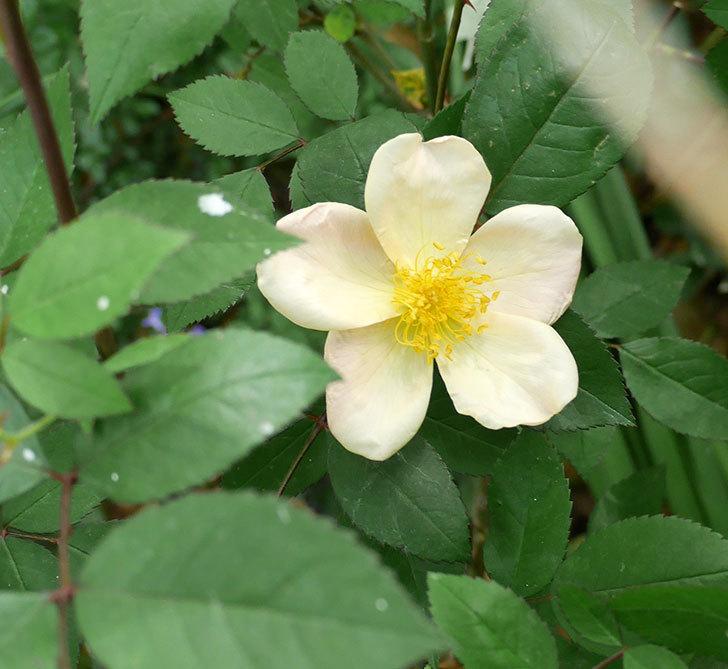 ムタビリス(木立バラ)の花が1個咲いた。2018年-1.jpg