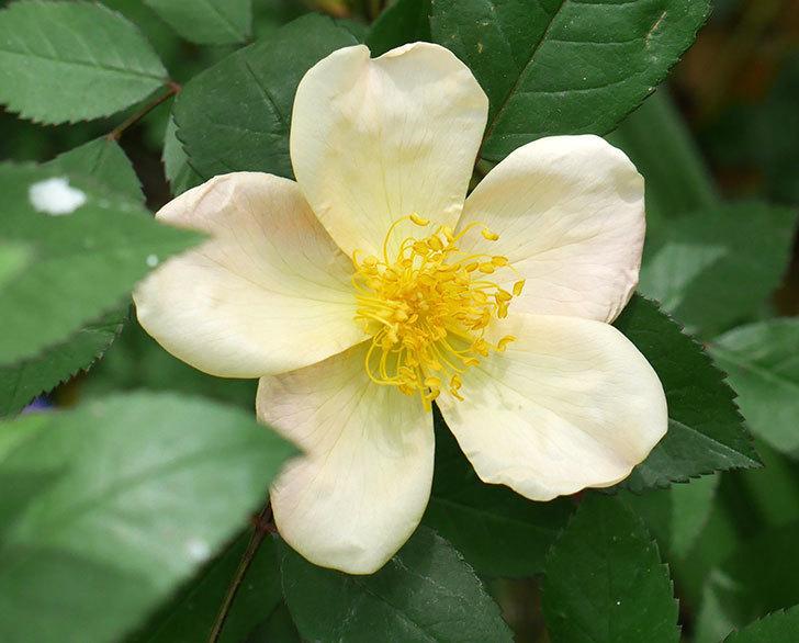 ムタビリス(木立バラ)の花が1個咲いた。2018年-2.jpg