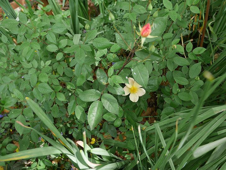 ムタビリス(木立バラ)の花が1個咲いた。2018年-3.jpg