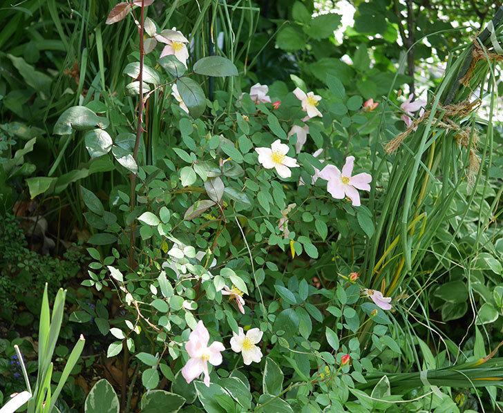 ムタビリス(木立バラ)の花がたくさんさいた。2019年-1.jpg