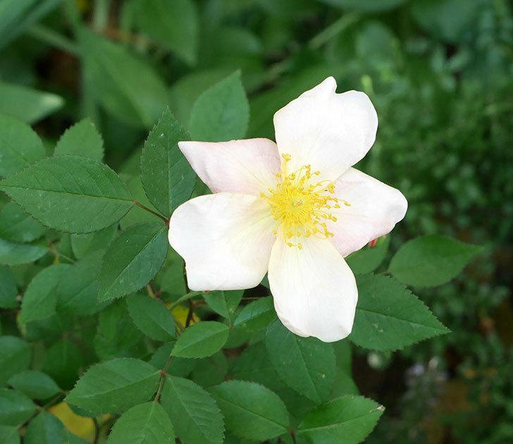 ムタビリス(木立バラ)の花がピンクになってきた。2018年-6.jpg