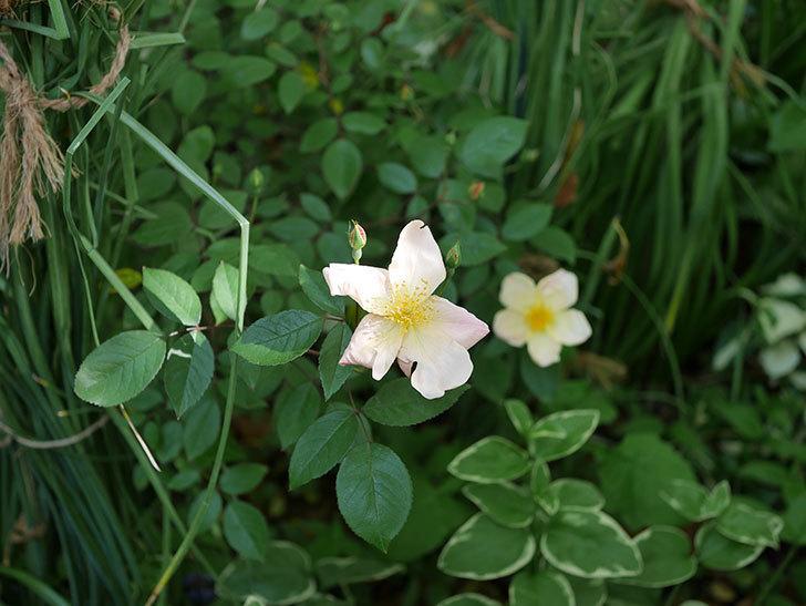 ムタビリス(木立バラ)の花が咲いた。2019年-6.jpg