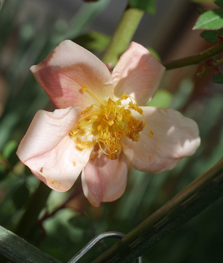 ムタビリス(木立バラ)の花が咲いた。2020年-1.jpg