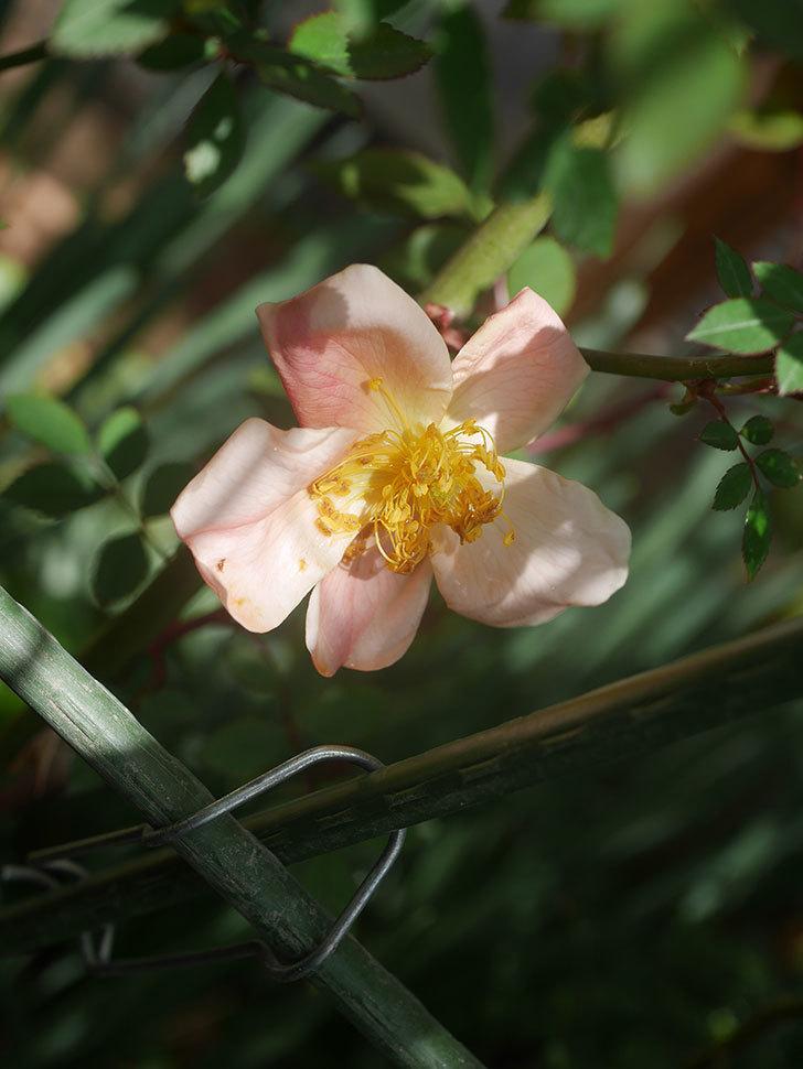 ムタビリス(木立バラ)の花が咲いた。2020年-2.jpg