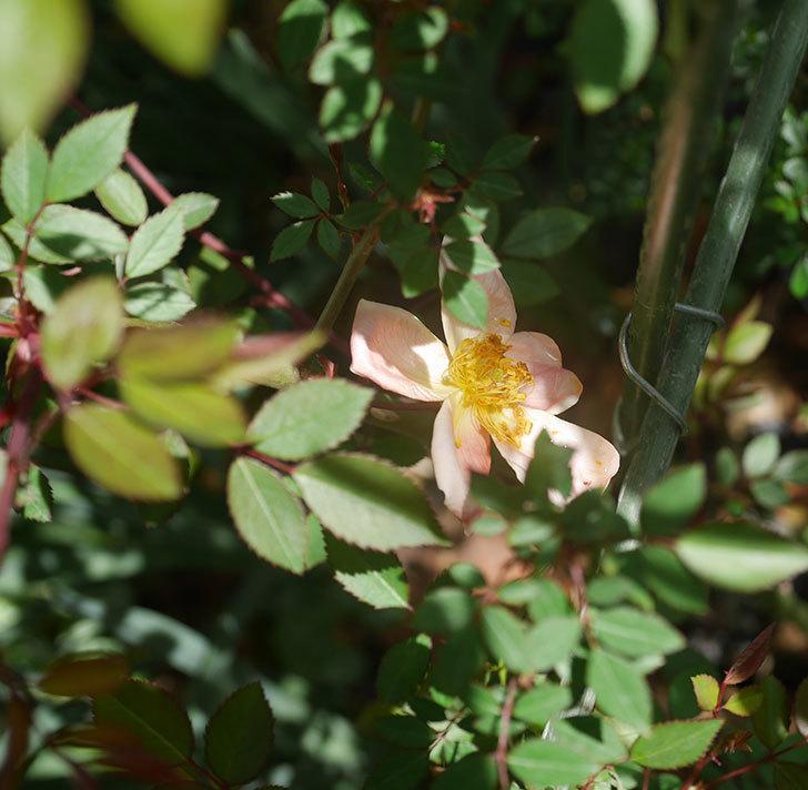 ムタビリス(木立バラ)の花が咲いた。2020年-3.jpg