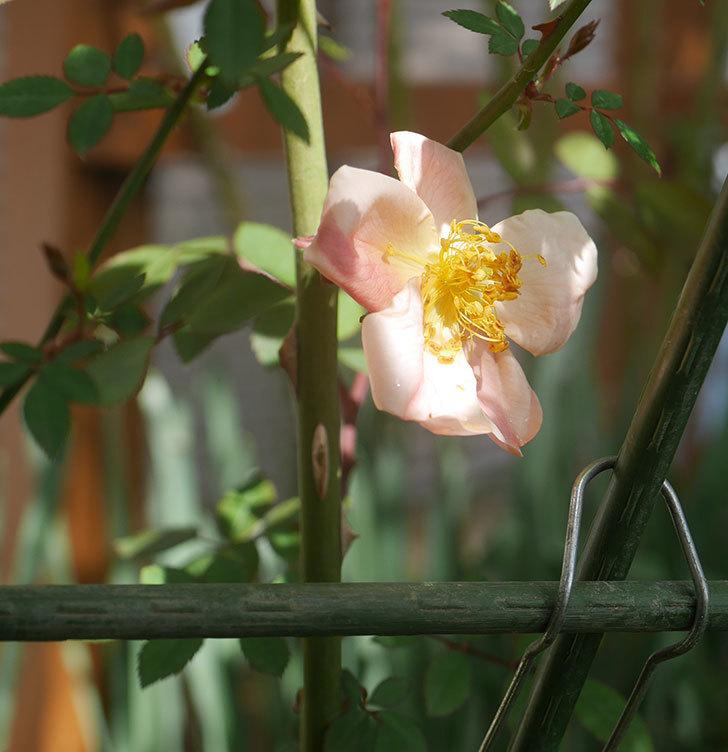ムタビリス(木立バラ)の花が咲いた。2020年-4.jpg
