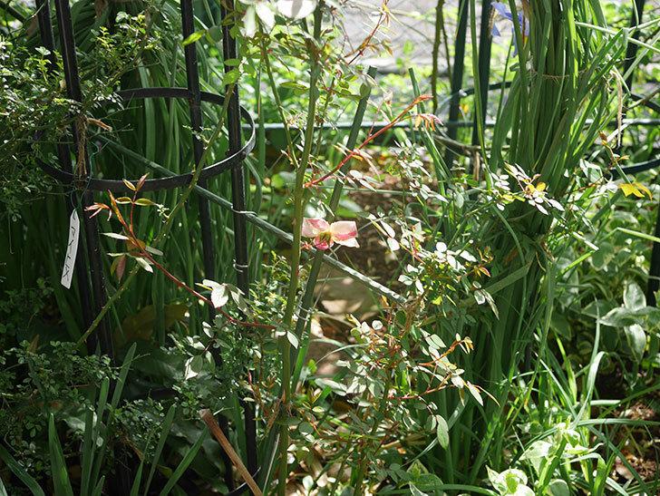 ムタビリス(木立バラ)の花が咲いた。2020年-5.jpg