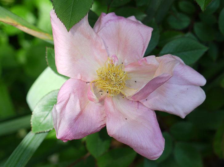 ムタビリス(木立バラ)の花が咲きだした。2017年-2.jpg