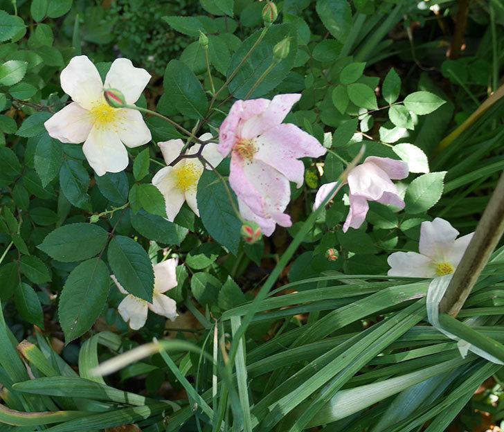 ムタビリス(木立バラ)の花が増えてきた。2018年-1.jpg