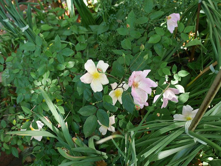 ムタビリス(木立バラ)の花が増えてきた。2018年-2.jpg