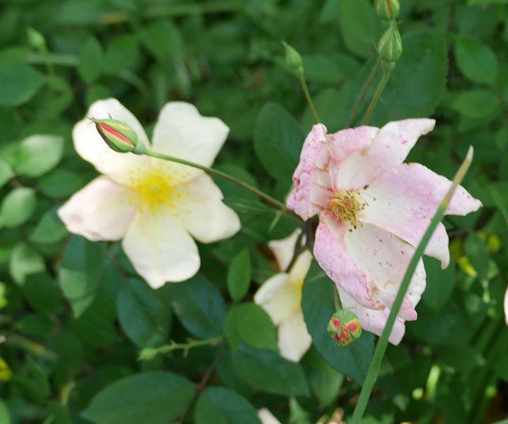 ムタビリス(木立バラ)の花が増えてきた。2018年-3.jpg