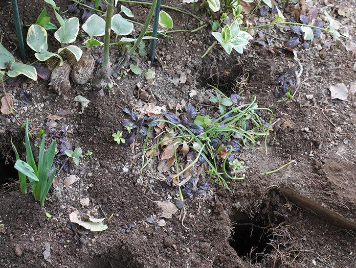 ムタビリス(Mutabilis)に寒肥を施した。木立バラ。2021年-002.jpg