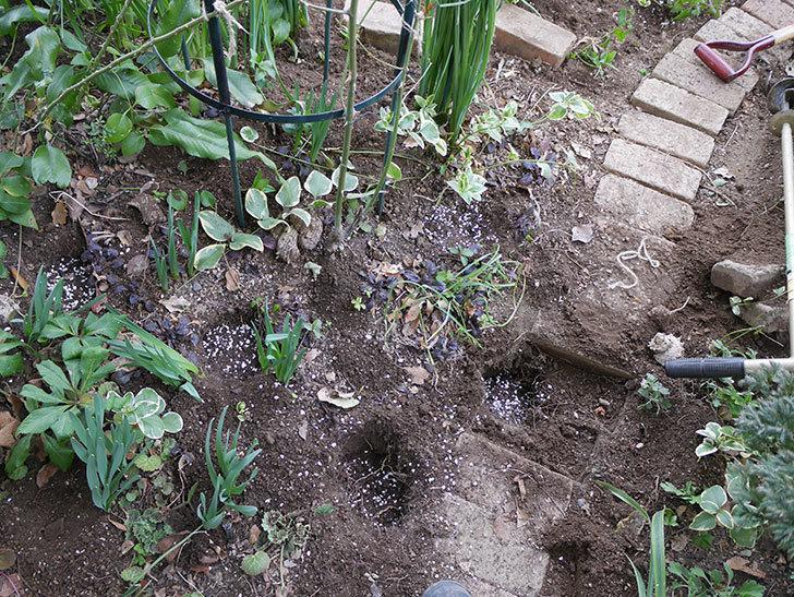 ムタビリス(Mutabilis)に寒肥を施した。木立バラ。2021年-011.jpg