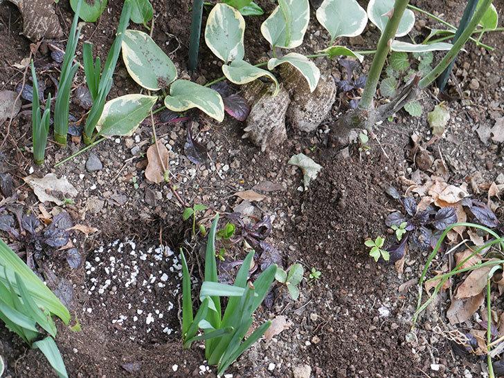 ムタビリス(Mutabilis)に寒肥を施した。木立バラ。2021年-017.jpg