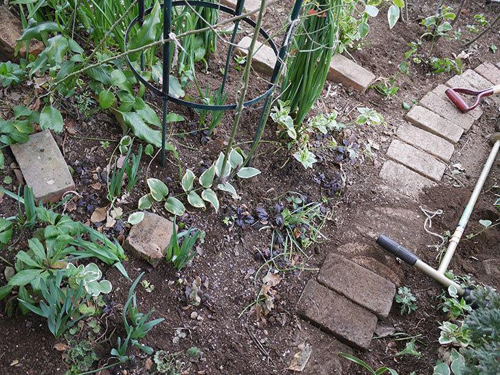 ムタビリス(Mutabilis)に寒肥を施した。木立バラ。2021年-020.jpg