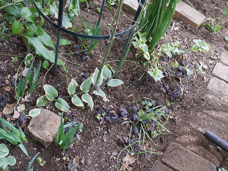 ムタビリス(Mutabilis)に寒肥を施した。木立バラ。2021年-021.jpg