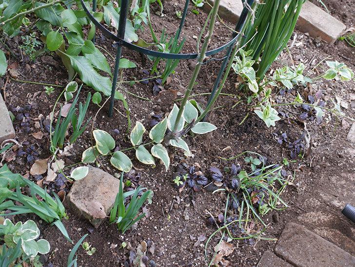 ムタビリス(Mutabilis)に寒肥を施した。木立バラ。2021年-022.jpg