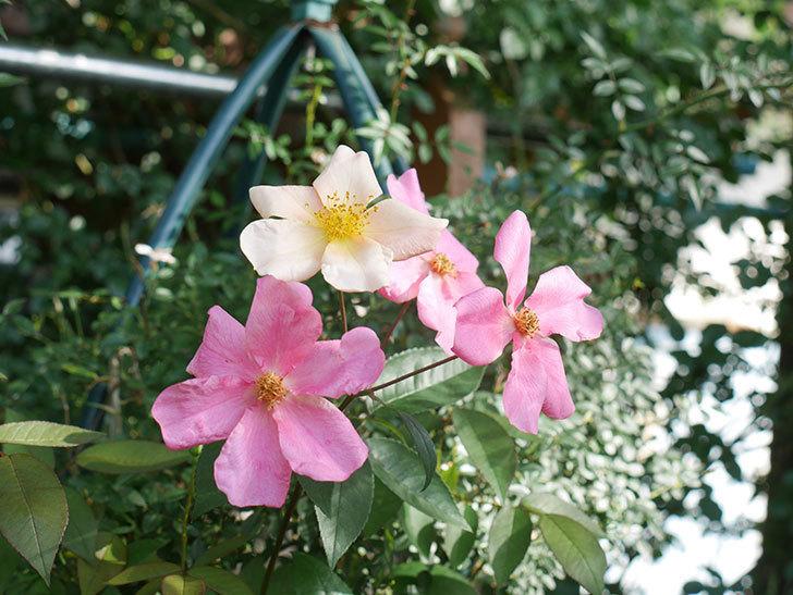 ムタビリス(Mutabilis)の2番花が咲いた。木立バラ。2021年-001.jpg