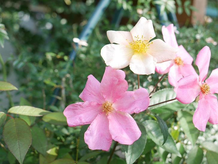 ムタビリス(Mutabilis)の2番花が咲いた。木立バラ。2021年-002.jpg