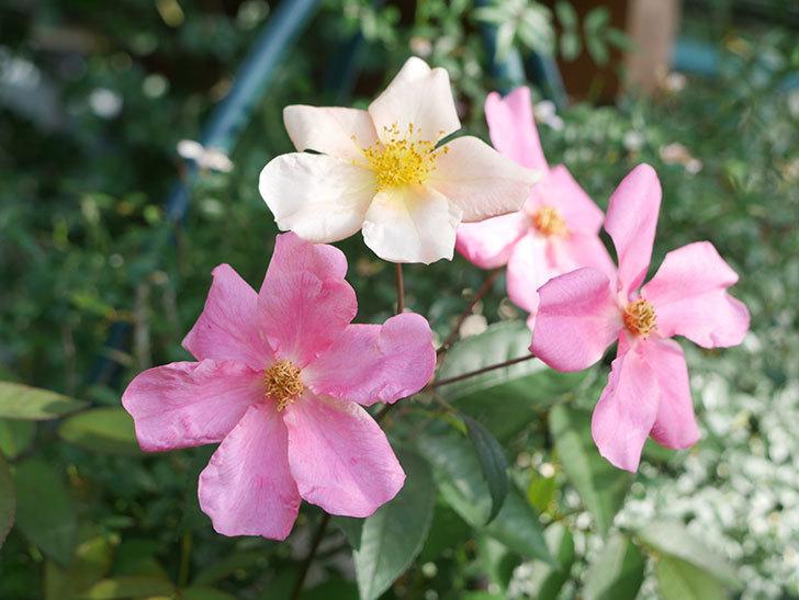 ムタビリス(Mutabilis)の2番花が咲いた。木立バラ。2021年-003.jpg