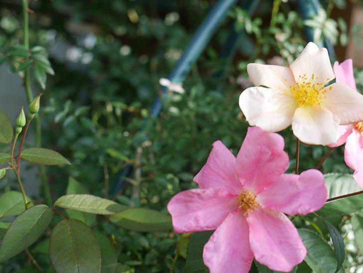 ムタビリス(Mutabilis)の2番花が咲いた。木立バラ。2021年-004.jpg
