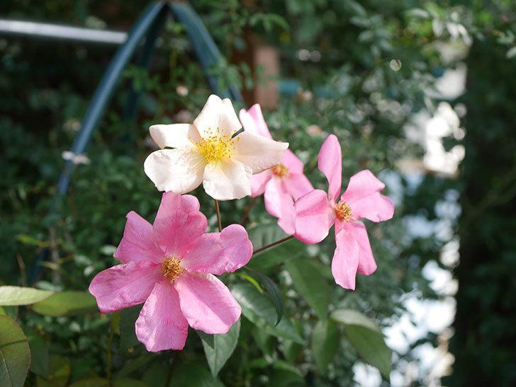 ムタビリス(Mutabilis)の2番花が咲いた。木立バラ。2021年-005.jpg