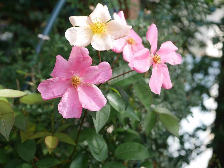 ムタビリス(Mutabilis)の2番花が咲いた。木立バラ。2021年-006.jpg