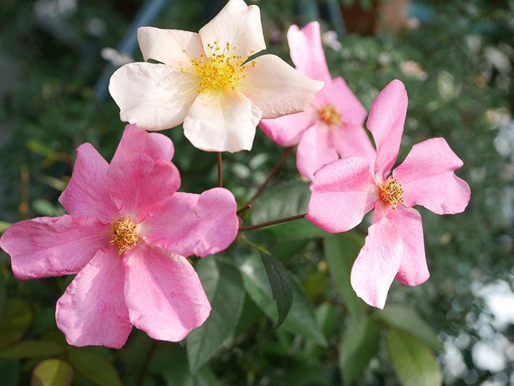ムタビリス(Mutabilis)の2番花が咲いた。木立バラ。2021年-007.jpg