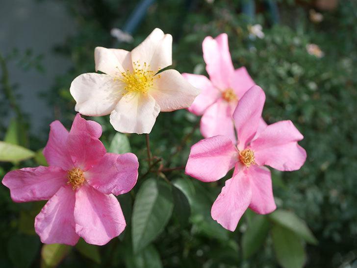 ムタビリス(Mutabilis)の2番花が咲いた。木立バラ。2021年-008.jpg