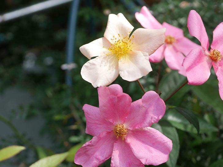 ムタビリス(Mutabilis)の2番花が咲いた。木立バラ。2021年-009.jpg