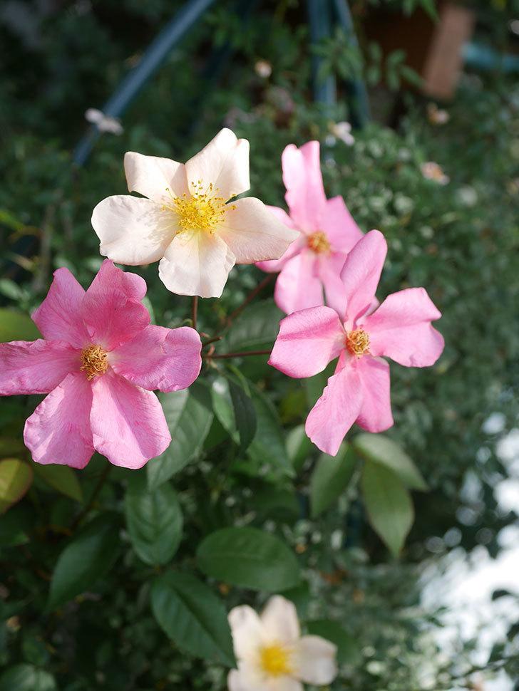 ムタビリス(Mutabilis)の2番花が咲いた。木立バラ。2021年-010.jpg
