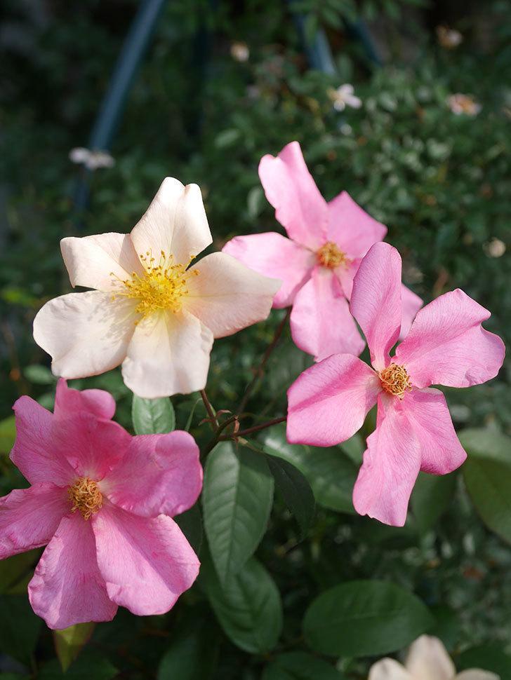 ムタビリス(Mutabilis)の2番花が咲いた。木立バラ。2021年-011.jpg
