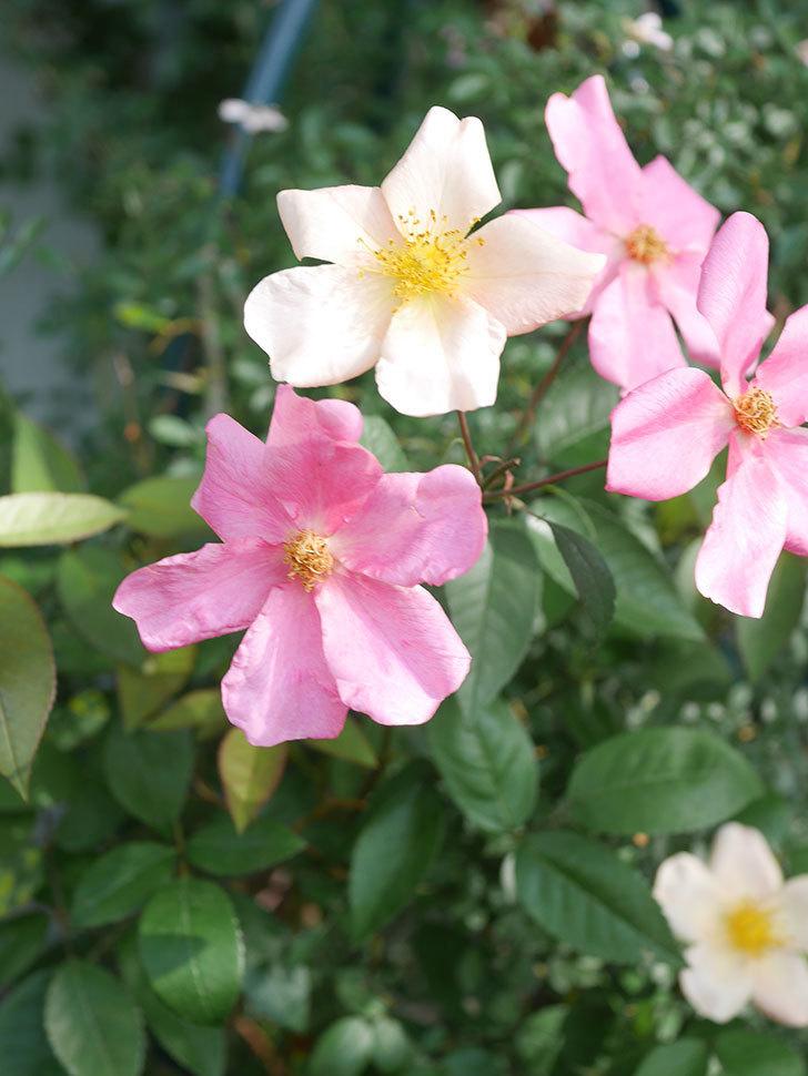 ムタビリス(Mutabilis)の2番花が咲いた。木立バラ。2021年-012.jpg