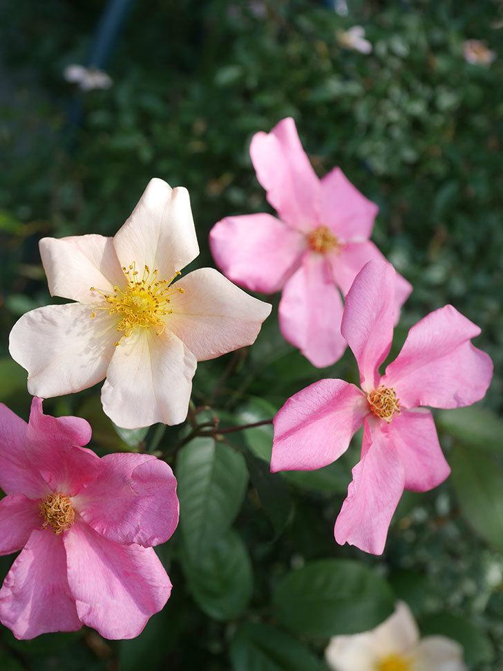 ムタビリス(Mutabilis)の2番花が咲いた。木立バラ。2021年-013.jpg