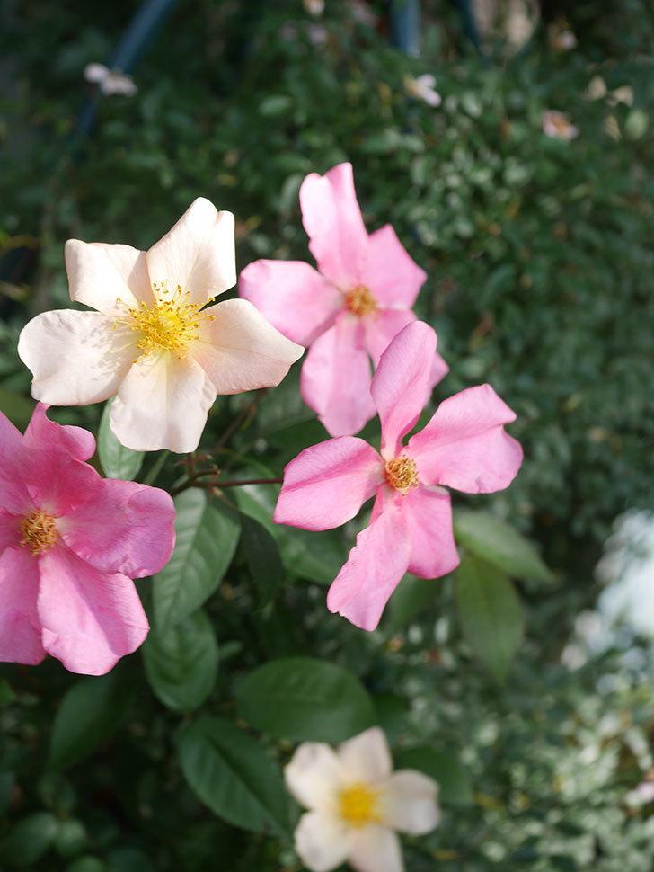 ムタビリス(Mutabilis)の2番花が咲いた。木立バラ。2021年-014.jpg