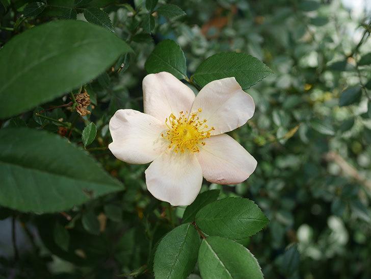 ムタビリス(Mutabilis)の2番花が咲いた。木立バラ。2021年-015.jpg
