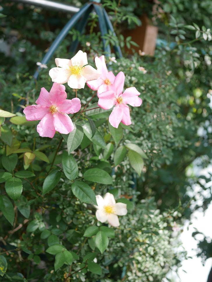 ムタビリス(Mutabilis)の2番花が咲いた。木立バラ。2021年-016.jpg