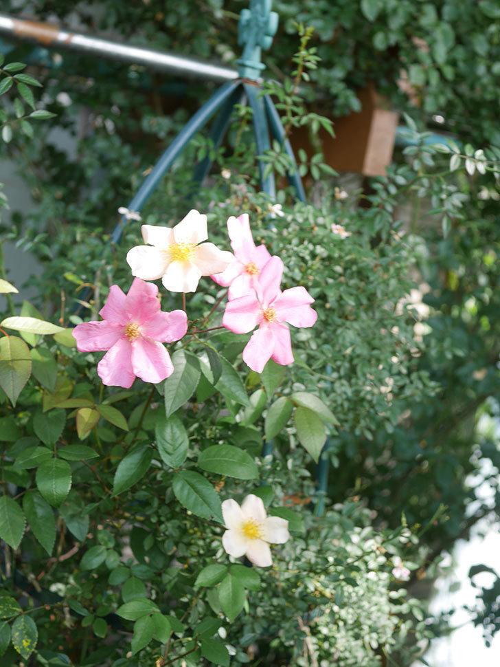 ムタビリス(Mutabilis)の2番花が咲いた。木立バラ。2021年-017.jpg