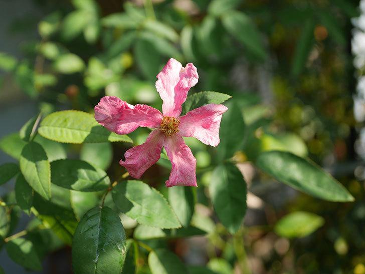 ムタビリス(Mutabilis)の夏花が咲いた。木立バラ。2020年-002.jpg