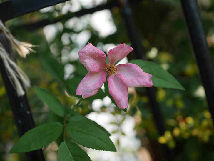 ムタビリス(Mutabilis)の夏花が咲いた。木立バラ。2020年-004.jpg