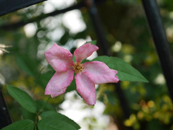 ムタビリス(Mutabilis)の夏花が咲いた。木立バラ。2020年-005.jpg